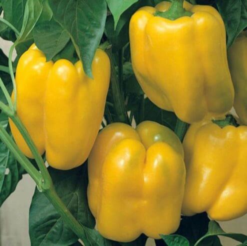 Poivron jaune Bio - 1 kg