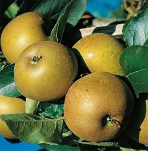 Pomme - Reinette Grise du Canada - kg