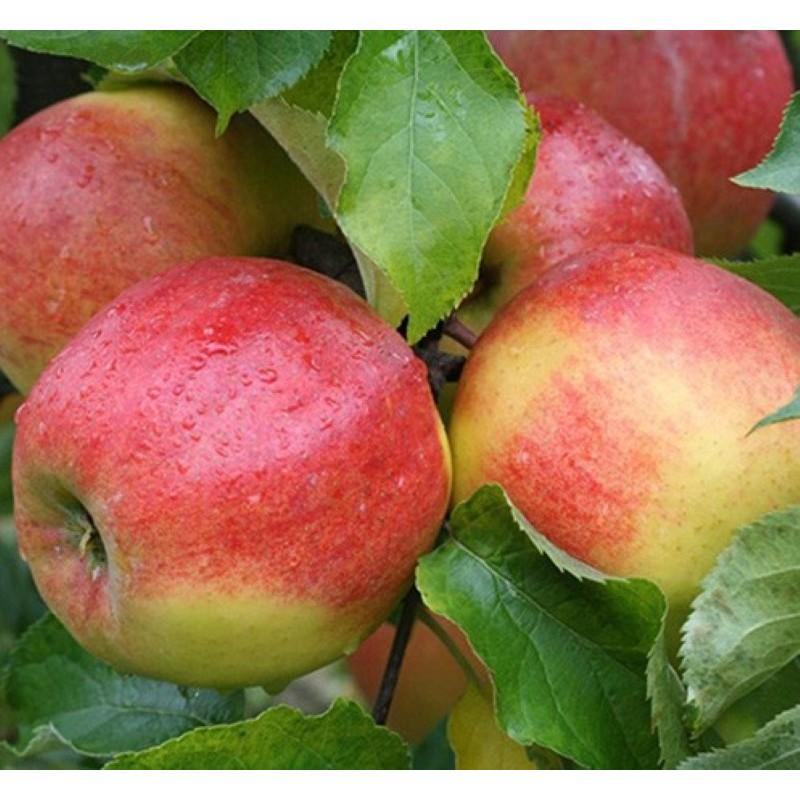 Pomme - Jonagold - 1 kg (environ)