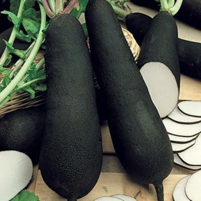 Radis Noir - Pièce