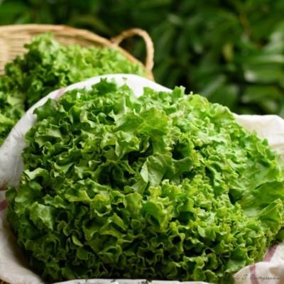 Salade - Batavia - Pièce