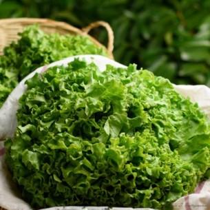 Salade - Batavia - 3 Pièces