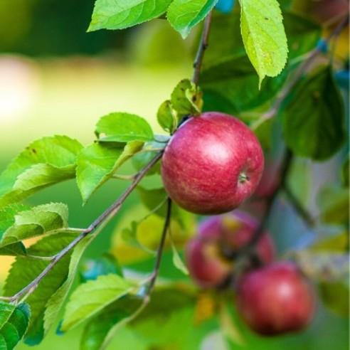 Pommes - Idared - 500 g (environ)
